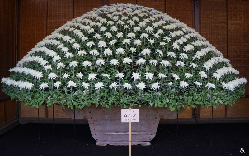 Chrysanthemum Dome Flowers